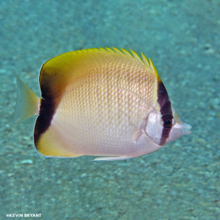 Read more about the article REEF BUTTERFLYFISH, CHAETODON SEDENTARIUS   UF/IFAS IRREC
